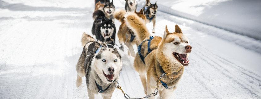 Experience Dogsledding In Alaska Avis Alaska